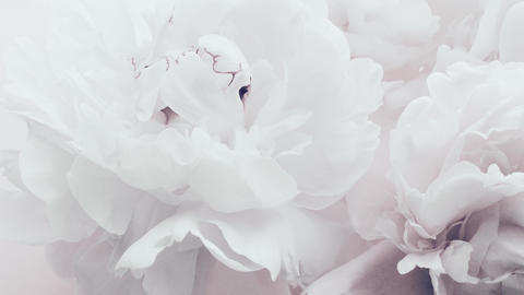 Pure white peonies, pastel peony flowers in bloom as holiday, wedding and floral Acción en vivo