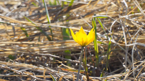 Yellow wild steppe tulips Live Action