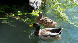 Ducks eating in a lake Footage