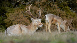Stags grazing on grassland Footage