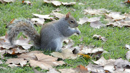 Squirrel eating on grassland Footage