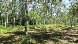 Birch forest Footage