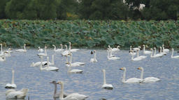 Flock of swans at Lake Hyoko Footage