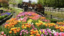 Tonami Tulip Fair, Toyama Prefecture, Japan Footage