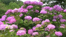 Hydrangea flowers Footage
