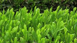 Tea plantation Footage