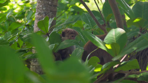 Toque macaques sit relaxed and take rest on branches Live Action