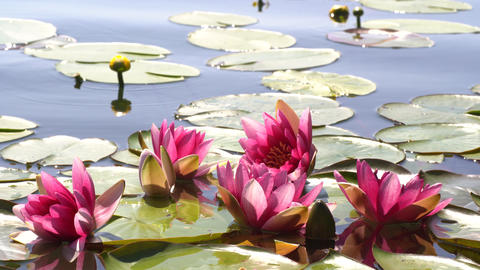 Pink lotuses and yellow water lilies swing in the waves on the lake, pond, water. The rays of the Live Action