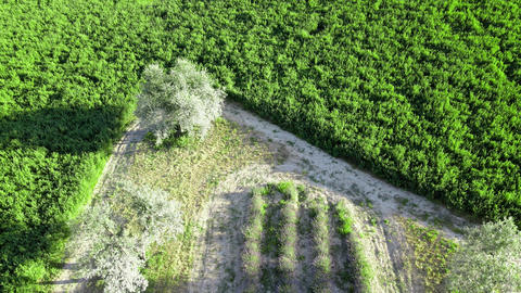 Overhead aerial view of Lavender Fields in the countryside, summer season, drone Live Action