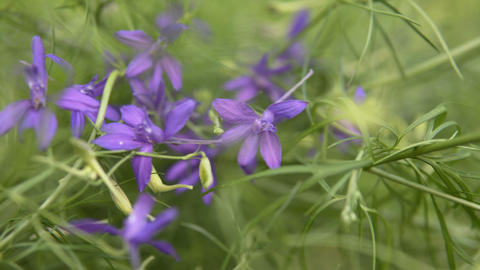 Purple field or meadow flowers on a blurred background, a small depth of field Live Action