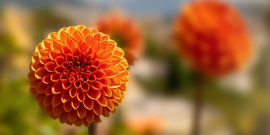 Orange ball flower with blurred background Photo