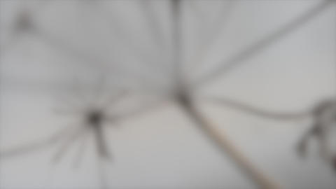 Blurred background. Dry grass moving in the wind in the blurry gray background Live Action