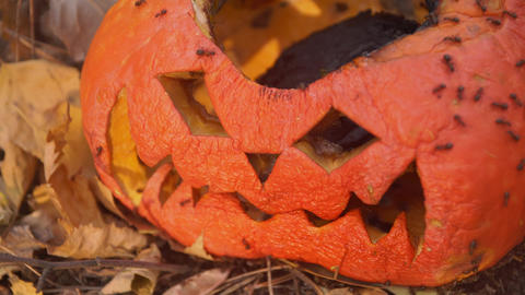 Ants eat scary wrinkled pumpkin lantern face after Halloween Live Action