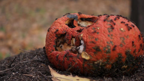 Rotting battered pumpkin Jack lantern with ants in nature Live Action