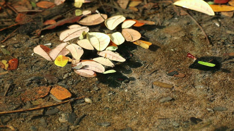 Fallen Samanea saman leaves on autumn swamp pond water Live Action