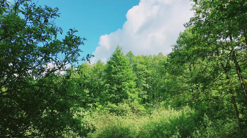 Trees in forest and blue sky, green foliage as nature, landscape and natural Live Action