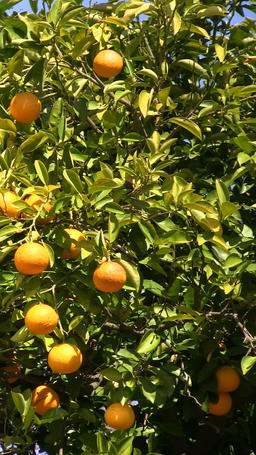Citrus fruit Footage