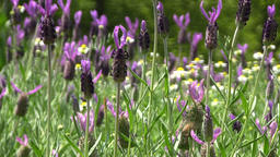 French Lavender field Footage