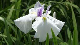 Iris Footage