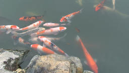 Colorful Japanese carps swimming in a pond Footage