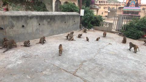 Jaipur, India, November 04, 2019 Galta Ji, monkeys run around the complex part 3 Live Action
