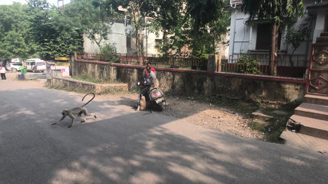 Udaipur, India - November 12, 2019: tourists on a motorcycle feed monkeys Live Action