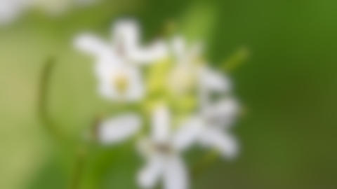Blurred background. small white wild flowers close up on a green background Live Action