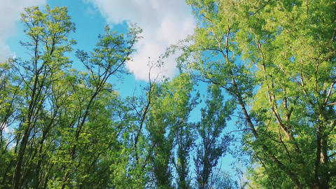 Trees in forest and blue sky, green foliage as nature, landscape and natural Acción en vivo