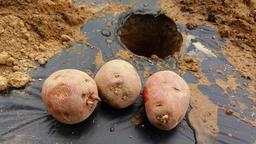 Three raw potatoes on the ground Photo