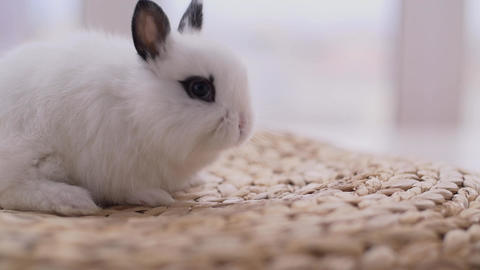 Little cute decorative rabbits in photo studio Live Action