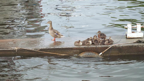 Duck with ducklings Live Action