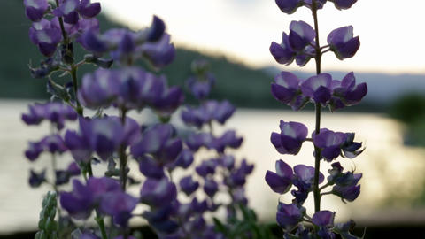 Macro view of lupine Live Action