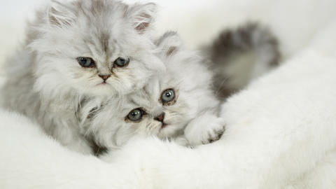 Two cute fluffy kittens lying on white blanket Live Action