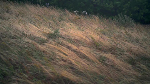 Low dry grass sways in the wind in the steppe. Downy grass, strong wind sways Live Action