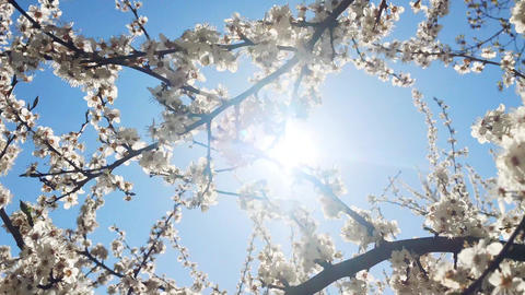 Blooming apple tree and blue sky in springtime, white flowers in bloom, floral Live Action