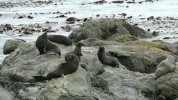 Fur Seals Footage