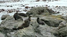 Fur Seals Footage