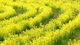Rapeseed field Footage