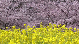 Rapeseed field and cherry blossoms Footage