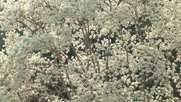 Japanese Magnolia flowers Footage