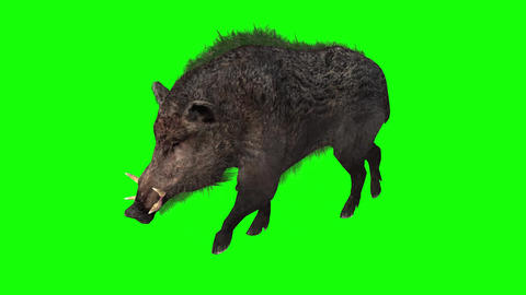 805 4k Animal two footages 3d computer generated wild boar lying eating walking Animation