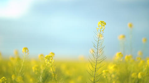 Yellow blooming canola field. Rapeseed field close up Live Action