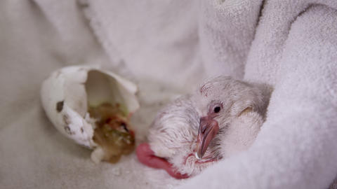 Baby flamingo lying next to egg it hatched from on towel Live Action
