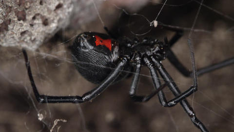 Black Widow spider moving on web under rock Live Action