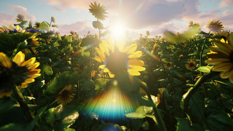 Beautiful Sunflowers in the field at sunrise. Field with sunflowers, butterflies and insects in Animation