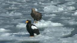 Stellers Sea Eagle, Hokkaido, Japan Footage