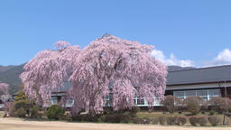 Cherry blossoms at Old Yamamoto Junior High School, Nagano Prefecture, Japan Footage