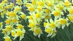 Narcissus flowers Footage