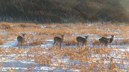 Hokkaido Sika Deer Footage