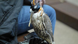 Falconer with his falcon with hood falconer close on the backstage of fashion we Footage